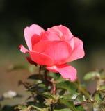 Photo beautiful pink rose Stock Photos