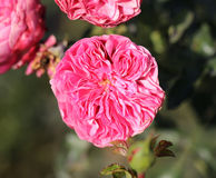 Photo beautiful pink rose Stock Photo