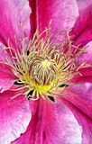 Pink clematis flower Stock Photo