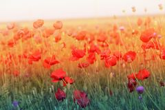 Photo of beautiful red poppies Stock Images