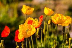 Photo of beautiful poppy flowers stock photography