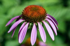 Photo of beautiful purple echinacea flower, close-up. Natural ba. Ckground Royalty Free Stock Image