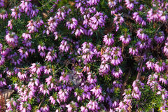 Photo of beautiful purple Erica Carnea  blooming flowers with wo Royalty Free Stock Photography