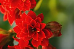 Beautiful red flower Stock Image