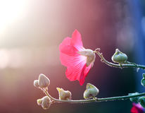 Photo of a beautiful red mallow flower. On a green background Stock Image