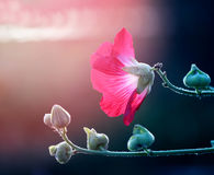 Photo of a beautiful red mallow flower. On a green background Stock Images
