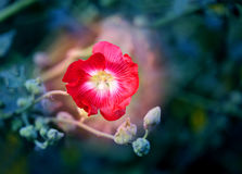 Photo of a beautiful red mallow flower. On a green background Royalty Free Stock Photo