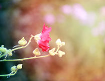 Photo of a beautiful red mallow flower. On a green background Royalty Free Stock Images
