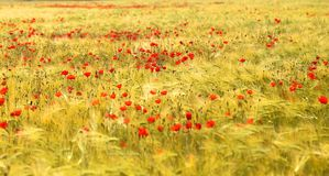 Photo of beautiful red poppies Royalty Free Stock Image