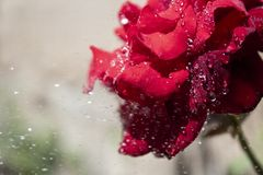 Lovely red rose royalty free stock photography