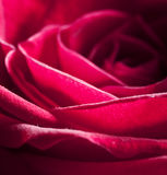 Photo Of Beautiful Rose With Water Drops Royalty Free Stock Photography