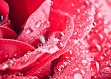 Photo Of Beautiful Rose With Water Drops Stock Images