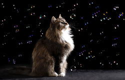 Photo of a beautiful Siberian cat among flying soap bubbles on a black background Stock Photo