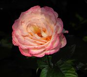 Renaissance pink rose old masters watercolour painting. Photo of a beautiful summer pink rose in the style of an old masters renaissance watercolour painting stock photo