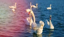 Photo of wonderful swans Stock Image