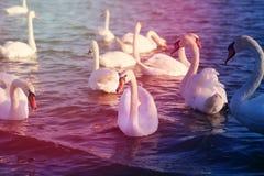 Photo of wonderful swans Royalty Free Stock Photos