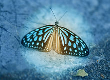 Photo of a beautiful tropical butterfly Royalty Free Stock Photo