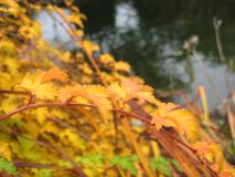 Photo of beautiful twig of a Bush in the yellow colors of autumn Stock Photo