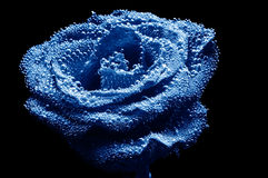 Photo Of Beautiful Underwater Blue Rose Royalty Free Stock Photos