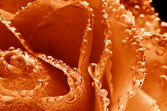 Photo Of Beautiful Underwater Orange Rose Royalty Free Stock Photo
