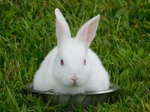 Beautiful white bunny in a bowl. Photo of a beautiful white bunny in a bowl with green grass in the background stock photo