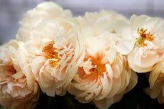 Photo beautiful white peonies Stock Images