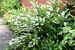 Beautiful white spring flowers planted around a home in street in England. This is a photo of beautiful white spring flowers planted around a home in a street in royalty free stock photography
