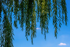 Photo of beautiful willow on the blue sky background. Photo of beautiful green willow on the blue sky background Stock Photography