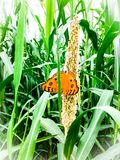 Beautiful orange butterfly on green leaf. Royalty Free Stock Photography