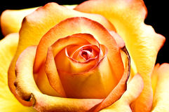 Photo Of Beautiful Yellow Rose Stock Photography