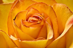 Photo Of Beautiful Yellow Rose Stock Photo