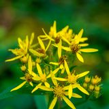 Photo of yellow wild flower in Carpathian mountains Stock Image