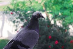 A photo of a beautiful and young pigeon stock photo