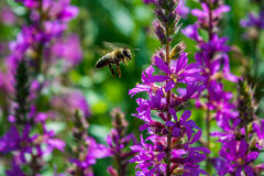 Photo of a bee near a violet beautiful flowers. Photo of a flying bee near a violet beautiful flowers Royalty Free Stock Photos