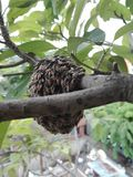 The bees are building a nest, closeup. A photo of bees swarm on tree branches, bees are building a nest with swarming behavior into a colony on hive hanging on royalty free stock photos