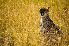 Photo Beige and Black Cheetah Royalty Free Stock Photos
