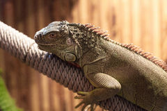 Photo of big lizard Royalty Free Stock Photography