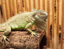 Photo of big lizard Royalty Free Stock Images
