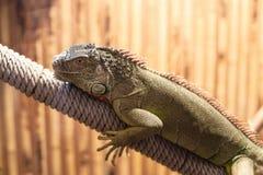 Photo of big lizard Stock Photography