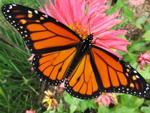 Big Pretty Monarch Butterfly. Photo of big monarch butterfly in a garden during october. This butterfly will soon leave for mexico stock images