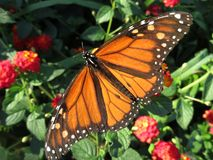 Big Monarch Butterfly. Photo of big monarch butterfly in a garden in october just before its journey to mexico royalty free stock photos