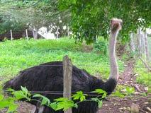 Big ostrich in Farm royalty free stock photos