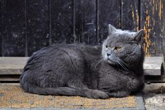 Cat. Photo of big resting cats royalty free stock photos