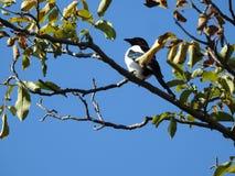 Bird sitting on the walnut tree Stock Image