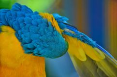 A macaw cleaning itself. Photo of birds taken in sout america Royalty Free Stock Images