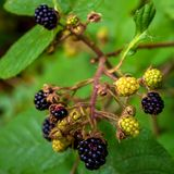 Photo of black blackberries on the bush in Carpathian mountains Stock Images