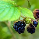 Photo of black blackberries on the bush in Carpathian mountains Royalty Free Stock Photos