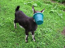 Photo of a black goat with a bucket on the head, spring or summe. R Stock Photography