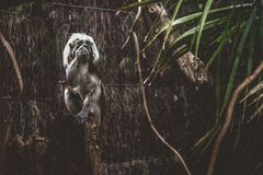 Photo of Black and Gray Primate Standing in Front of Brown Wooden Surface Royalty Free Stock Image