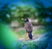 Photo of black southern starling. On green background Stock Images